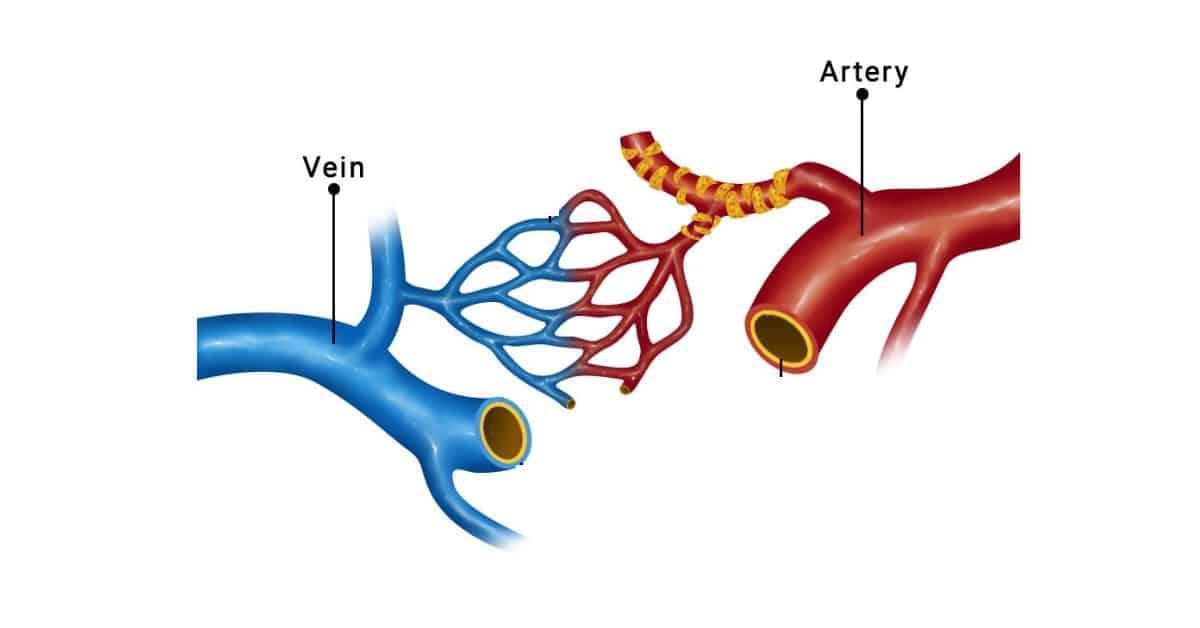 Arteries and Veins